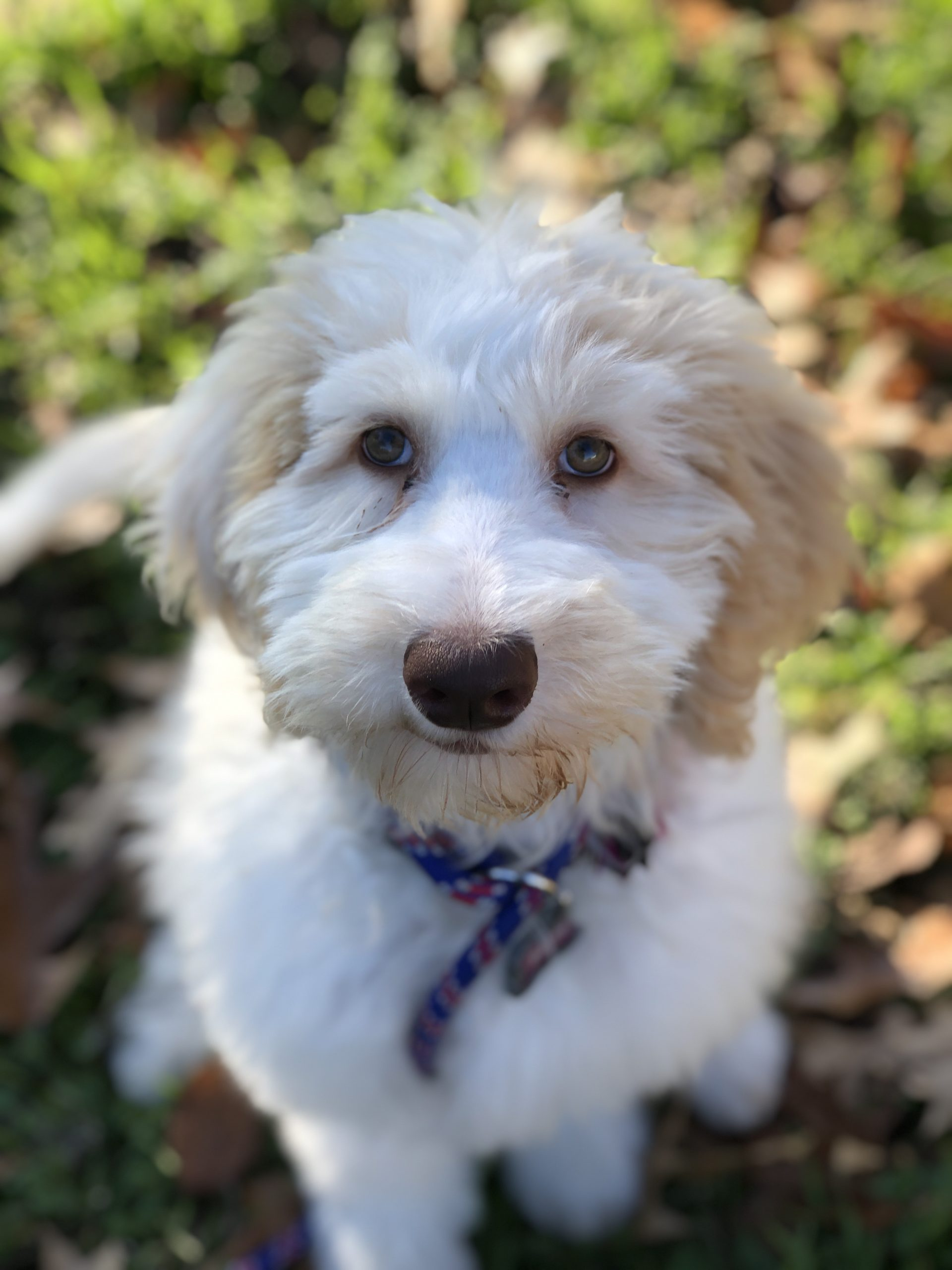 Sheepadoodle Training For Kennedale Texas