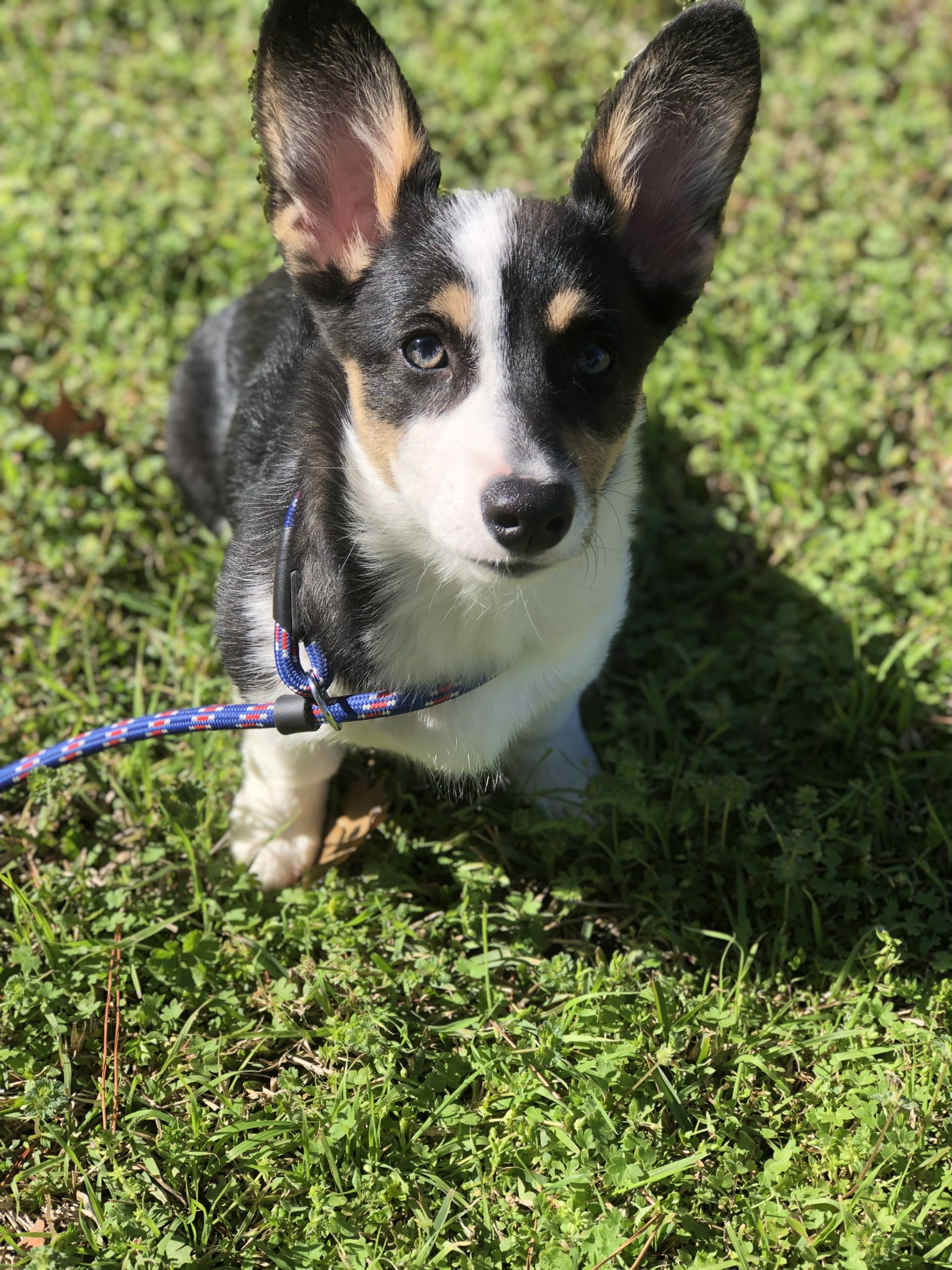 Iris-Pembroke-Welsh-Corgi-Fort-Worth-Texas